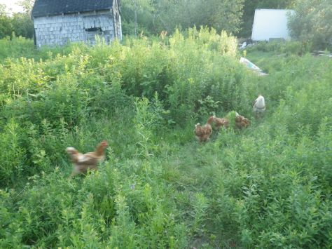 If I herd the rooster, then all the hens come boinging along, in a line behind, which is funny.