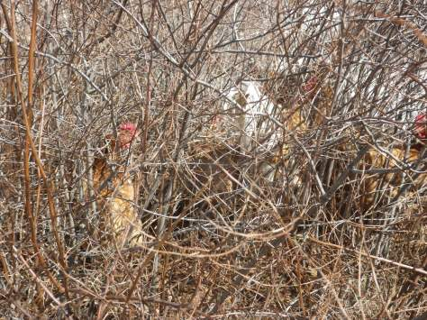 This is their favorite, hiding in the scrub.  Can hardly see them in there, until the bush clucks when you walk by.
