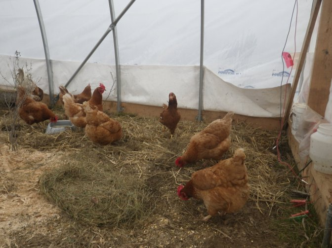 New hens- arrival