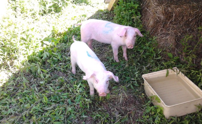 Pigs!  Arrival