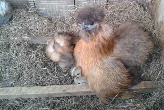 RIP little brown hen