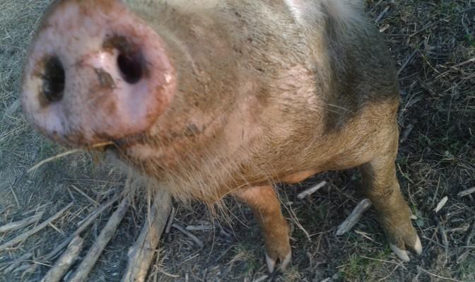 Pig smiles