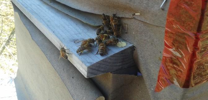 Pollen baskets!
