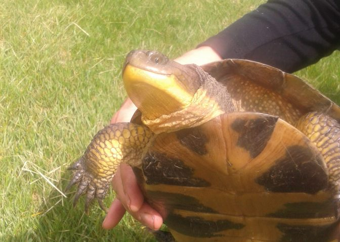 My first Blanding's Turtle