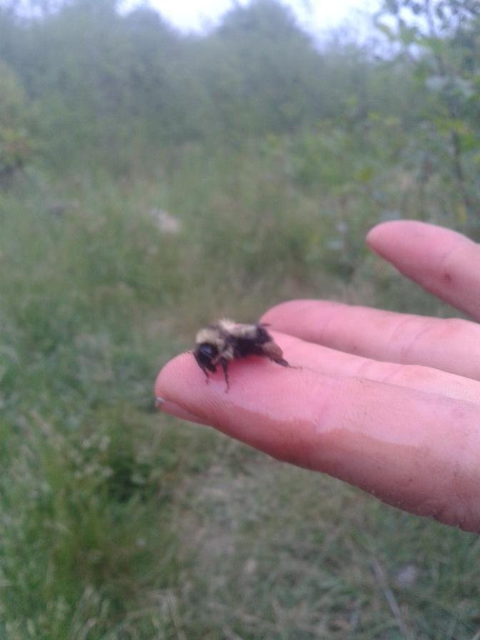 Bumblebee Rescue