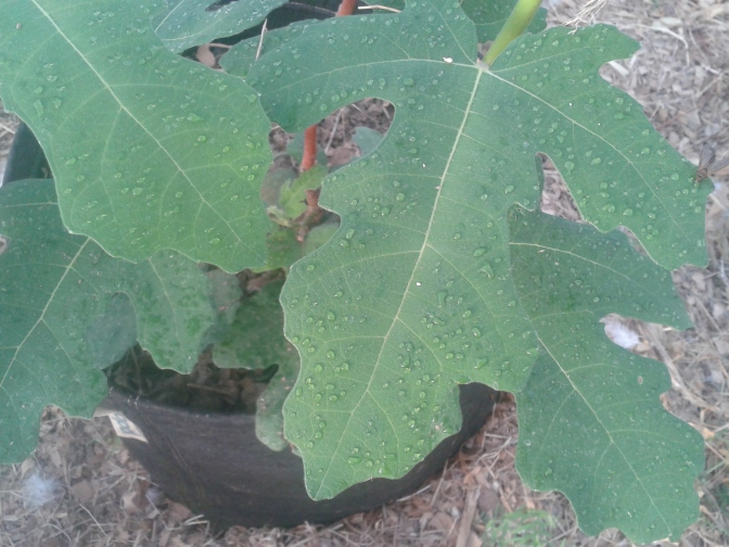 Transpiration on a fig leaf