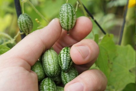cucamelons-intro2