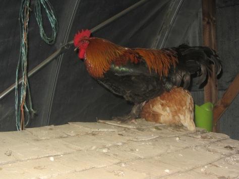 one hen left