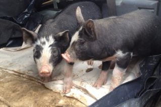 The unexpected piglets