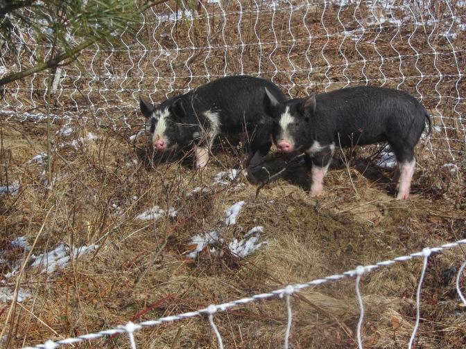 Gotcha, pigs!