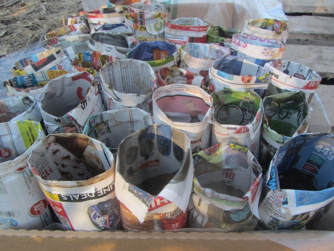 "Newspaper ""pots"" for tomatoes."
