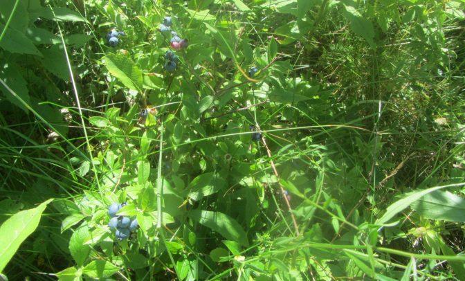Blueberries!?