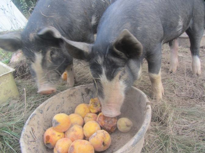 Picky picky piglets