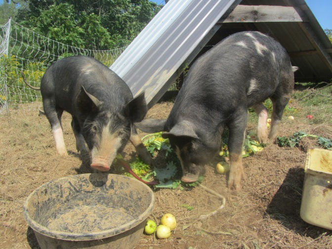 Pig lunch