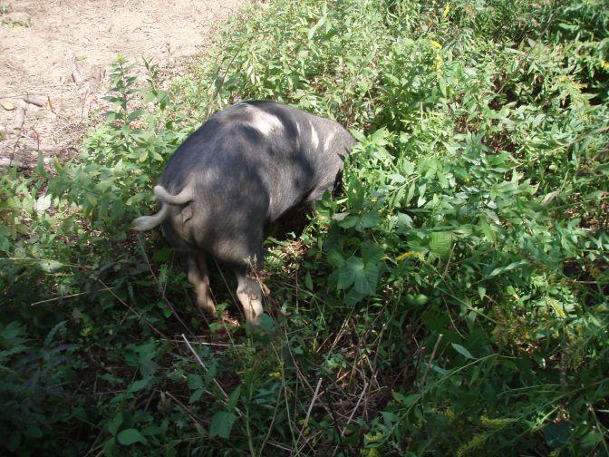 Pig plowshares