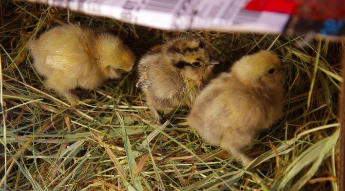 House chicks!