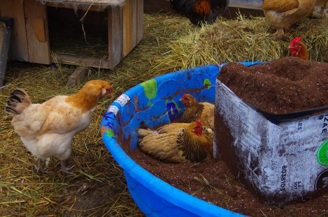 Now that's a chicken bathtub