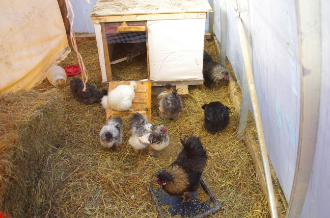 chicken house immigrants