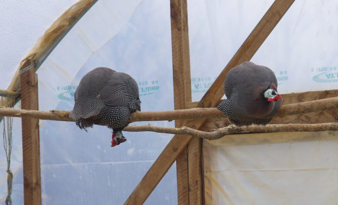 Guineas are funny