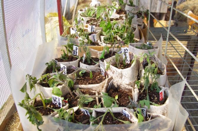 Seedling disaster